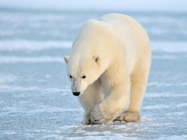 北极熊图源西伯利亚鲨鱼远古冻土图片